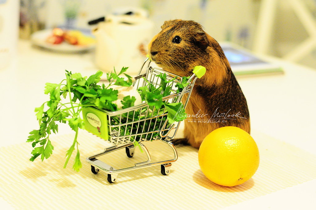 Shopping guinea pig